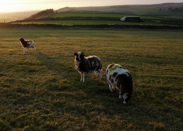 Sheep in Hay Meadow at sunset at Bretton Hostel in the Peak District